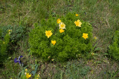 Blühender Busch von Adonis-vernalis in der trockenen Wiese Lizenzfreie Stockbilder