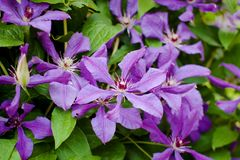 Blühender Busch von purpurroten Klematis lizenzfreies stockfoto