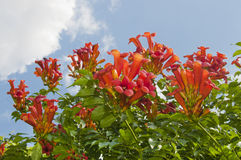Blühender Busch Weigela Florida Stockfotos