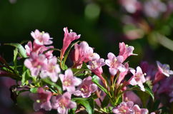 Blühender Bush, Garten Stockfotografie