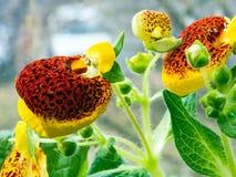 Blühender Calceolaria Stockbilder