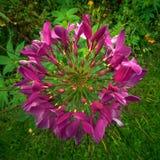 Blühender Cleome u. x28; spider& x29; Blume Lizenzfreie Stockbilder