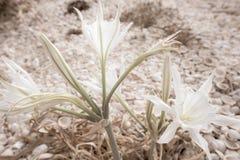 Blühender Colchicum mit Oberteilen im Hintergrund stockfotografie