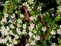 Blühender Cotoneaster Stockfotos