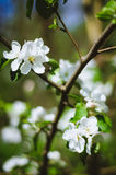 Blühender Crabapple-Baum Stockfoto