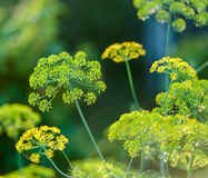Blühender Dill Stockbilder