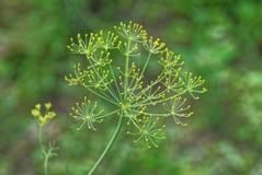Blühender Dill auf einem dünnen grünen Stiel im Garten lizenzfreie stockfotografie
