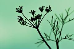 Blühender Dill silhouettiert gegen einen grünen Hintergrund Stockbild