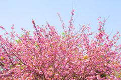 Blühender doppelter Kirschblütenbaum und blauer Himmel Stockfotografie