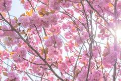 Blühender doppelter Kirschblütenbaum und -sonne beleuchten Stockfoto