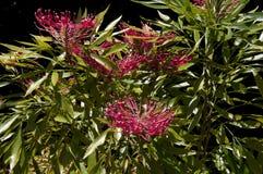 Blühender dorrigo waratah Baumeingeborener nach NSW und Queensland lizenzfreie stockbilder