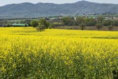 Blühender Feldrapssamen Stockfoto