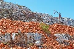 Blühender Flaschenbaum in Dixam, rote Felsen, Socotra, der Jemen Lizenzfreie Stockfotos