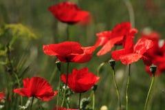 Blühender Frühling der Mohnblumen lizenzfreies stockfoto