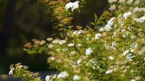 Blühender Frühlings-Strauch stock video