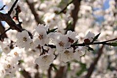 Blühender Frühlingsbaum Lizenzfreie Stockfotografie