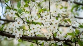Blühender Frühlingsbaum mit weißen Blumen Stockbild