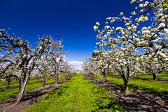 Blühender Frühlingsgarten Stockbild