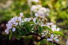 Blühender Frühlingsgarten Stockbilder
