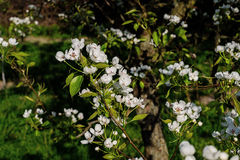 Blühender Frühlingsgarten Lizenzfreies Stockbild