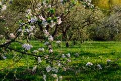 Blühender Frühlingsgarten Lizenzfreie Stockfotos