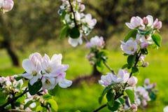 Blühender Frühlingsgarten Stockfotografie