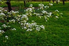 Blühender Frühlingsgarten Stockfotos