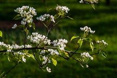 Blühender Frühlingsgarten Lizenzfreie Stockfotografie