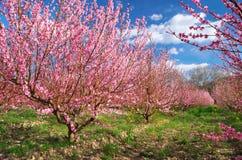 Blühender Frühlingsgarten des Obstgartens Stockfoto