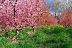 Blühender Frühlingsgarten des Obstgartens Stockfotografie