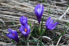 Blühender Frühlingskrokus Stockbild