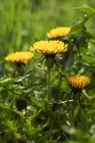 Blühender Frühlingslöwenzahn stockbild