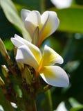 Blühender Frangipani Lizenzfreies Stockfoto