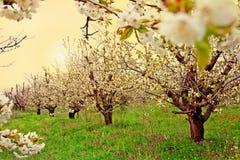 Blühender Fruchtgarten Lizenzfreies Stockfoto