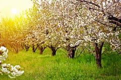 Blühender Fruchtgarten bei Sonnenuntergang Lizenzfreie Stockfotografie