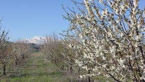 Blühender Garten auf Hintergrund von Bergen stockbilder