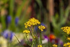 Blühender gelber Alyssum und bunte Blumen verwischen lizenzfreie stockbilder