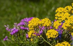 Blühender gelber Alyssum und purpurrote Flammenblume verwischen stockfotografie