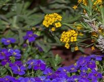 Blühender gelber Alyssum und purpurrotes aubrieta stockbilder