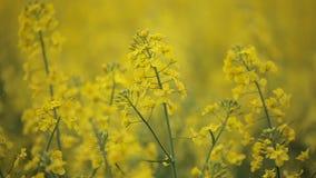 Blühender gelber Blumenraps auf dem Rapssamengebiet stock footage