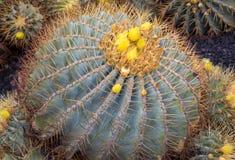 Blühender gelber Fass-Kaktus lizenzfreie stockbilder
