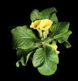 Blühender gelber Primula auf dem schwarzen Hintergrund Lizenzfreie Stockfotografie