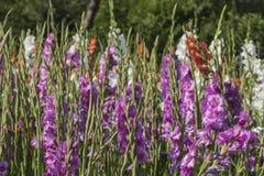 Blühender Gladiolus Lizenzfreie Stockfotos