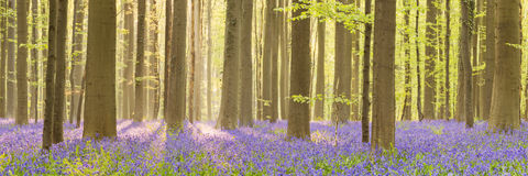 Blühender Glockenblumewald in des Morgensonnenlichts lizenzfreies stockfoto