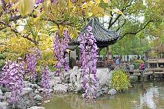 Blühender Glyziniebaum, hängende lila Blumen Foto eingelassenes S lizenzfreie stockfotos