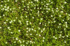 Blühender Grasrasen Stockbild
