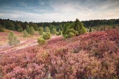Blühender Hügel der rosa Heide lizenzfreies stockfoto