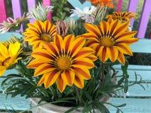 Blühender Hintergrund Ganazia-Blumen stockbild