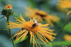 Blühender hoher Inula Helenium Inula in der Wiese Heilpflanze, homeopatic Biene unscharf Stockfotos