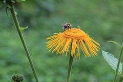 Blühender hoher Inula Helenium Inula in der Wiese Heilpflanze, homeopatic Biene unscharf Lizenzfreie Stockfotos
